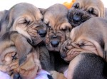 Looking for a Bloodhound Puppy