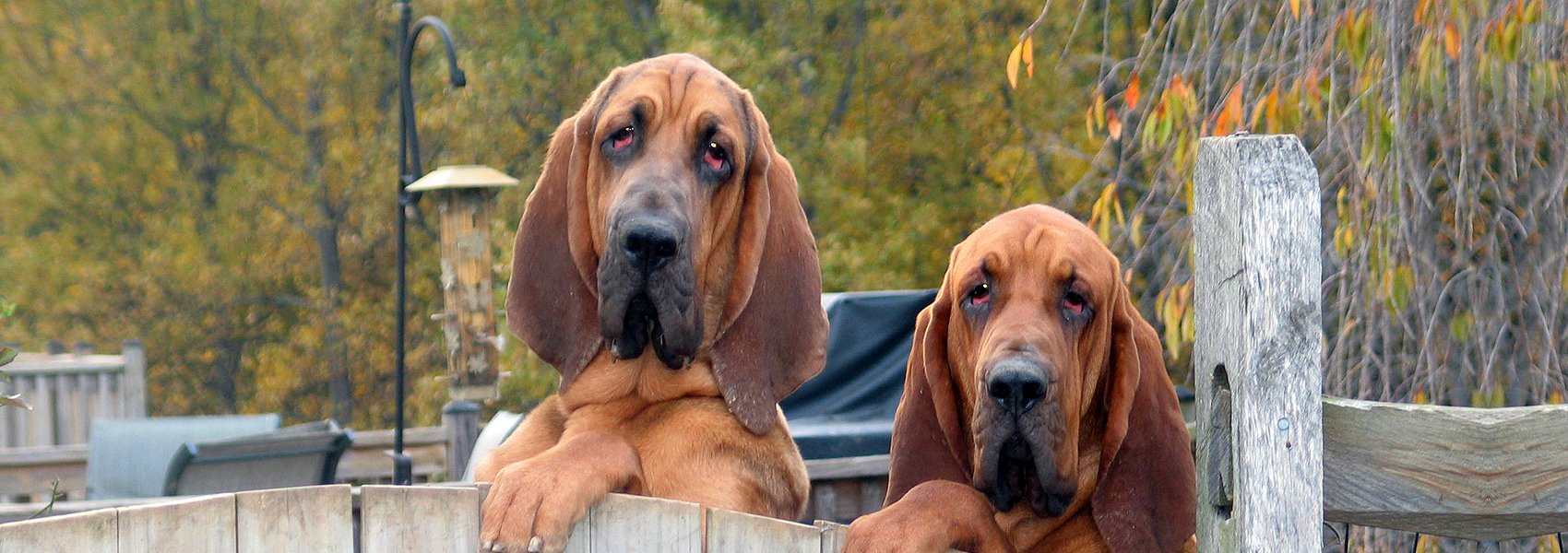 American Bloodhound Club membership slide showing two Bloodhounds with paws on the fence