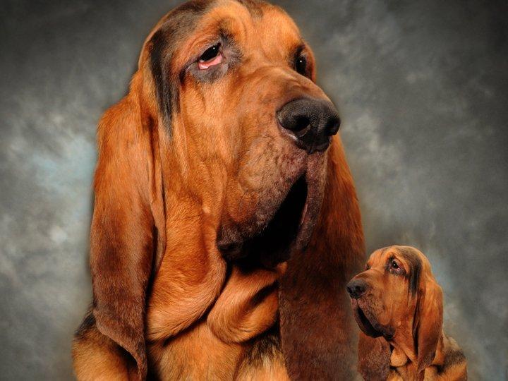 Beautiful Bloodhound photo