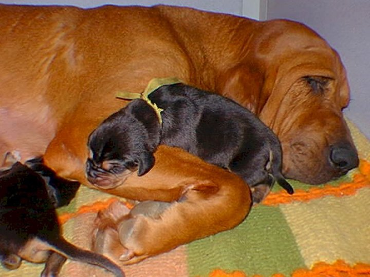 Bloodhound mom with her litter