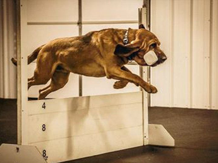 Bloodhound retrieving dumbell in open