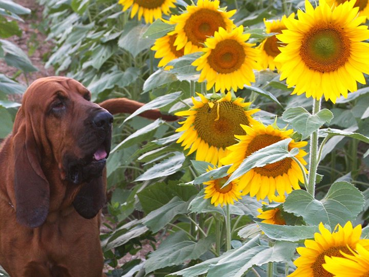 Bloodhound standing in a field of sunflowers