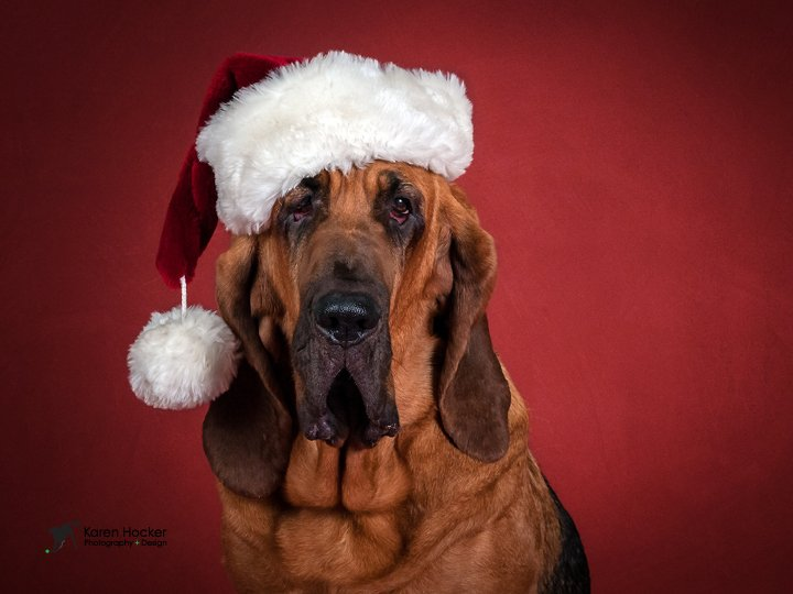 Bloodhound wearing a Santa hat